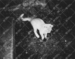 Eräs nuori kissa kesällä 1939.