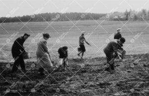 Perunannostotalkoot Tuorlassa vuonna 1946. Pellolla.