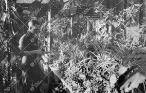Puutarhuri Esko Puupponen kasvien parissa juuri korjatussa ja  laajennetussa kasvihuoneessa vuonna 1
